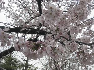 関東お花見2018~桜の名所・見ごろ・穴場・ライトアップ情報~