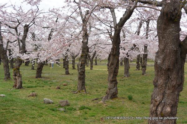 北海道東北お花見~桜の名所・見ごろ・ライトアップ情報~
