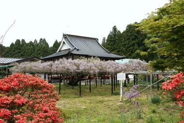 龍蔵寺の六尺藤