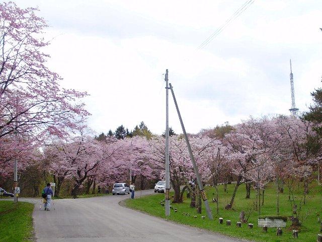 北海道東北お花見2019~桜の名所・見ごろ・ライトアップ情報~